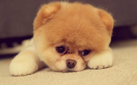 Pomeranian-Puppy-cute-sad-face